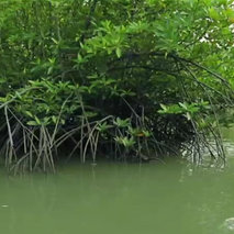 Mangrove Forest's Carbon Cycle